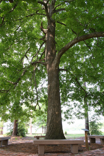 Old-Hickory-Tree