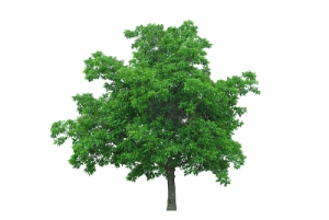 Walnut-Tree