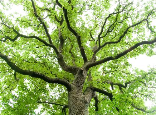 Oak-Hardwood-Species