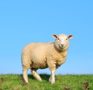 Wool-Carpet-Fiber