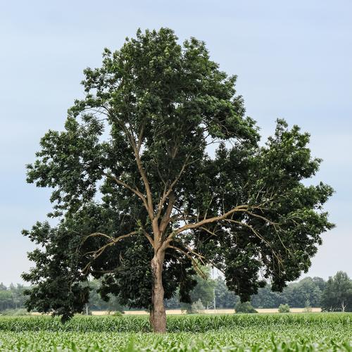 Ash-Hardwood-Species